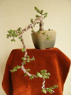 Bonsai Collection of a member of Ahmedabad Bonsai Club: My Jade Collection (under training) Bonsai Tree Care, Indoor Bonsai Tree, Bonsai Plants, Bonsai Garden, Jade Bonsai, Mini Bonsai, Jade Tree, Plantas Bonsai, Tree Pruning