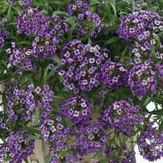 "Alyssum 'Lavender Stream' Lobularia - A trailing variety with sweetly scented flowers would be a wonderful companion in a sunny container. Trails 14-16""."