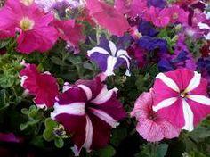 Resultado de imagem para jardim com petunias