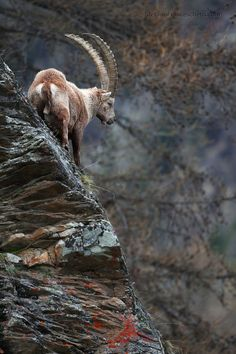 Power is nothing without control - Ibex.    by Stefano Franceschetti on 500px