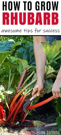 Rhubarb is a perennial vegetable that is used as a fruit and is delicious in jams and pies.  It is easy to grow and comes back year after year.  Learn how to plant, grow, care for, and harvest this vegetable.  #perennialvegetable #rhubarb #growingrhubarb #gardening Perennial Vegetables, Planting Vegetables, Growing Vegetables, Growing Plants, Raised Garden Beds, Raised Beds, Gardening For Beginners, Gardening Tips, Gardens