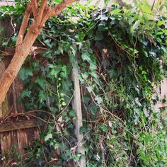 Pest Ivy to be removed for wreath making. Ivy is a pest and a highly invasive species perfect for making things!