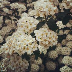 #picoftheday #editoftheday #photooftheday #colore_italiano #clubsocial #eboftheday #instamood #instaboost #instagood #instadaily #instagramers #instafamous #instatalent #instagramhub #instafollowers #dailyfeature #all_shots #todaysphoto #foto_italiane #master_pics #insta_sleepl #white #flowers #spring #garden #priimavera - @mariabeatricebocchi- #webstagram