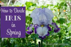 Learn how to plant, grow and propagate Iris for a fabulous Spring bloom. Nothing can be easier than growing Iris in your garden, and you will have plenty to share! Spring Blooms, Spring Flowers, Growing Irises, Iris Rhizomes, Flower Tower, Backyard Plants, Tower Garden, Iris Garden