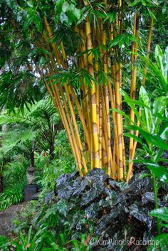 Tabu: Tropical Paradise in Cairns, Queensland - golden culms of Sacred Bali bamboo fan above a glossy clump of black begonia