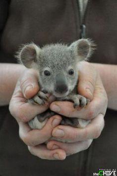 It may not be a dog, but its a damn cute Koala