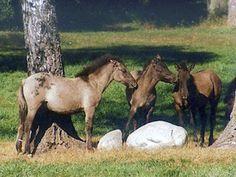 Tarpan horse breed