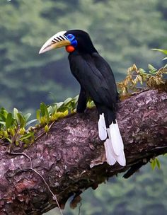 """Gorgeous Birds """"Rufous-Necked Hornbill"""" of South Asia. Just Watch Out more pictures and feel the real beauty of Nature."""