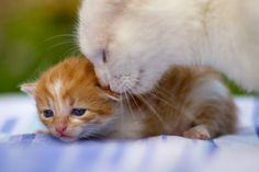 =} Awww Mama Cat Re-assuring One of Her Kittens. Baby Kittens, Kittens Cutest, Cats And Kittens, Cute Cats, Funny Cats, Newborn Kittens, Cute Baby Animals, Funny Animals, Hug Your Cat Day