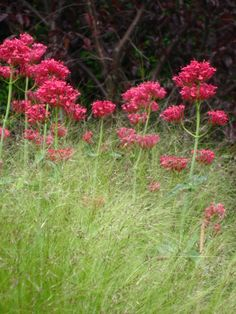 """Centranthus ruber 'Coccineus' (Red Valerian) - h18-30"""" x w18-24"""" - Full Sun, Part Shade - Very fragrant crimson red flowers. A not-so-common perennial that should be used more often for its continual display of flowers and unfussy growth habit. The leaves are opposite on stems which offer a different texture than most perennials. Zone 4. Benefits: Fragrant."""