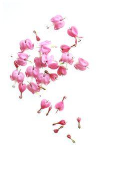 Pin By Still By Mary Jo Hoffman On Still On White Heart Flower Tattoo Roses Drawing Bleeding Heart Flower