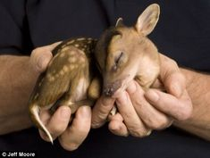 """tiny deer delivered by cesarean after his mum was hit by a car. So sad. But what a little miracle."""