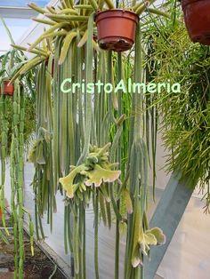 Disocactus flagelliformis CRISTATA