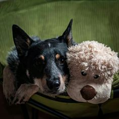 From Australian Cattle Dog rescue of Illinois