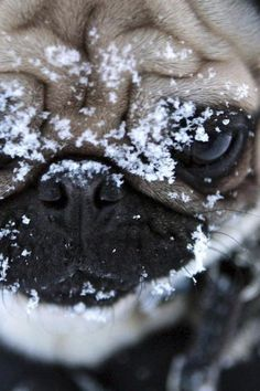 Milo does this every year when it first starts snowing. He runs outside and rubs his face along the snow. After that he wants nothing to do with it.