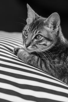 Gato, animales, blanco y negro, franjas, felino, Cat, animals , black and white , stripes , feline,