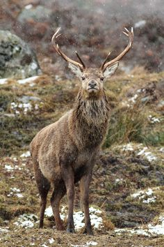 Red Deer Stag in a Snow Shower (Cervus elaphus) 6524 by Highland Andy