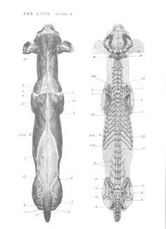 Lion anatomy - Top view