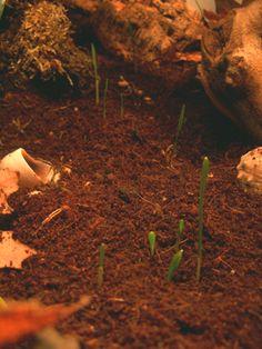 Hermit Crab Garden in Action - growing seeds in the crabitat for snacks!