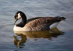 Canada Goose..don't see them in Fl.  They are plentiful in Ohio and many other states.