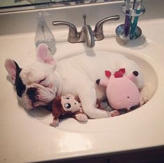 Mannie the Frenchie sleeps in the sink with his monkey