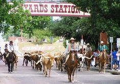 This is an actual cattle drive.  I think they do it twice a day.  It was a highlight of our trip to Fort Worth, Texas.