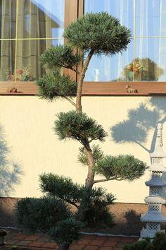 BONSAI PARK tree shrub plant the most beautiful Japanese Garden Planting Shrubs, Topiary, Evergreen, Garden Design, Garden Ideas, Most Beautiful, Exterior, Gardening, Park