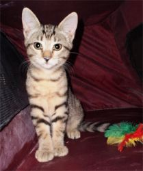 COOKEE is an adoptable Tabby - Brown Cat in Cocoa, FL. Brown mackerel tabby female. Affectionate and playful, good with other cats....COOKEE SPACE COAST FELINE NETWORK (no shelter; cats in private foster homes), Cocoa, FL Phone: Please use email • dameow@yahoo.com