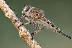 Photo Robberfly by Macrolife on Moth, Insects, Explore, Animals, Animales, Animaux, Exploring, Animal Memes, Animal