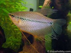 Pearl gouramis  have an iridescent shimmer that is so beautiful. They are slow swimmers, and really are relaxing to watch. Hopefully I will be able to get 2 of these for my 20 gallon tank. The tank is ready, has a lot of healthy plants, and currently just has 3 balloon mollies in it ;)