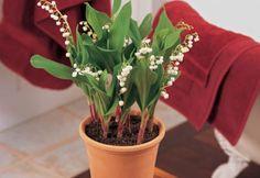Cum sa plantezi Lacramioara in ghiveci