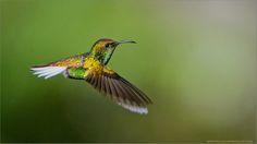 Coppery-headed Emerald Hummingbird by Raymond Barlow on 500px