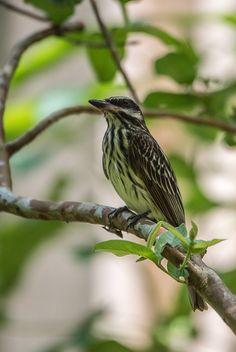 Foto bem-te-vi-rajado (Myiodynastes maculatus) por Roberto Dall Agnol | Wiki Aves - A Enciclopédia das Aves do Brasil