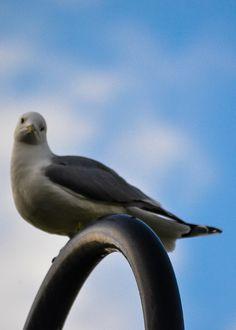 Grumpy Gull