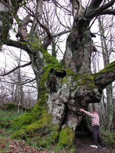 Resulta emocionante abrazarse al enorme tronco del Castaño de Escondelobos, una criatura de 700 años hermosa y venerable.