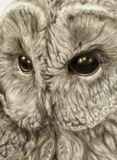Owl Art Print of Original Graphite Drawing, Wildlife Art Print, Bird Art Portrait, Sepia Tone, Tawny Owl on Etsy, $25.00