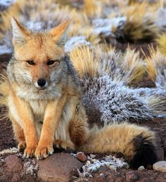 South American gray fox (Lycalopex griseus), Chile by Solenne Durand