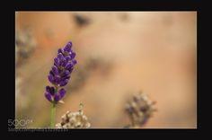 Pic: Lavender