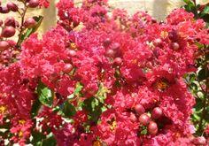 Red crepe myrtle