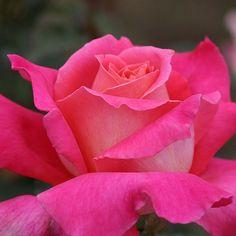 Audrey Wilcox® - Hybrid Tea Roses - Roses - Heirloom Roses