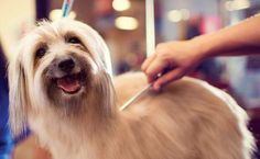 Dog Grooming Salon | How To Choose A Good Dog Grooming Salon. Your dog might have the shortest hair of any breed or be a shaggy mess with tons of knots in its coat.  Either way, you'll likely notice after a while that it doesn't look quite as dashing or cute as it once did as a puppy.