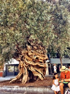 Centennial olive tree outside City Hall of Palma de #Mallorca