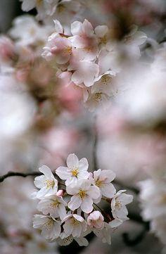 Sakura Blossom Image for natural forms moodboard Love Flowers, Beautiful Flowers, Sakura Cherry Blossom, Cherry Blossoms, Sakura Sakura, Blossom Trees, Jolie Photo, Cherry Tree, Natural Forms