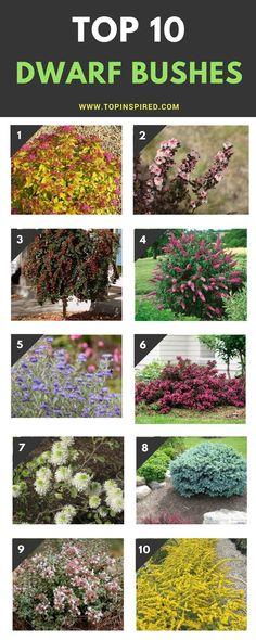 Top 10 dwarf flowering bushes