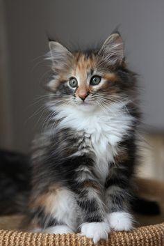 <3<3<3 Titran's Rosamunde (Norwegian Forest Cat) by quatre mains, via Flickr