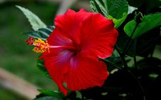 Photograph A TRADITIONAL RED HIBISCUS!!! by S R NAIRS on 500px