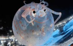 Piglet Squid is mostly clear, but the pigment color under it's eyes makes it looks like the squid always has a smile on its face!. Description from animals-zone.com. I searched for this on bing.com/images