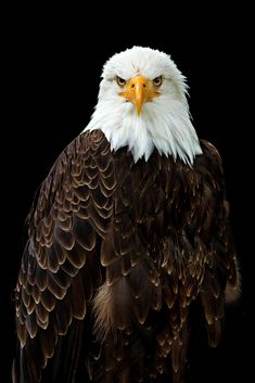 Weißkopfseeadler (Bald Eagle) by Bianca Wolfsteiner - Photo 146357801 - Bald Eagle Pictures, Eagle Images, Eagle Nest, Eagle Bird, Beautiful Birds, Animals Beautiful, Wood Carving Art, Birds Of Prey, Beautiful Creatures