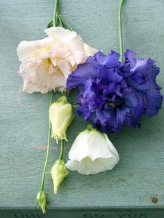 Lievelingsbloem lisianthus is een schoonheid met achtergrond in het Wilde Westen