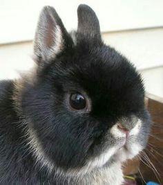 ♥ Pet Rabbit Ideas ♥ Cutest bunny ever Dwarf Rabbit, Pet Rabbit, Funny Rabbit, Baby Animals, Funny Animals, Cute Animals, Baby Bunnies, Cute Bunny, Netherland Dwarf Bunny